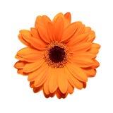 помеец gerbera цветка Стоковые Фото