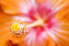 помеец hibiscus Стоковые Изображения