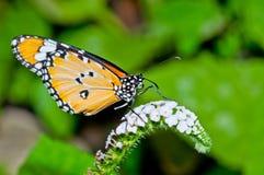 Померанцовая бабочка на цветке Стоковая Фотография RF