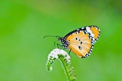 Померанцовая бабочка на цветке Стоковое Фото