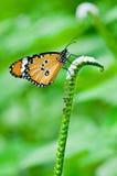 Померанцовая бабочка на цветке Стоковое фото RF
