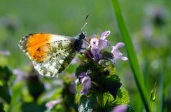 Померанцовая бабочка подсказки бабочка на солнечном луге Бабочки весны яркие прозрачные крыла Скопируйте космосы Стоковое Фото