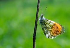 Померанцовая бабочка подсказки бабочка на солнечном луге Бабочки весны яркие прозрачные крыла Скопируйте космосы Стоковая Фотография RF