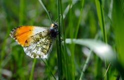 Померанцовая бабочка подсказки бабочка на солнечном луге Бабочки весны яркие прозрачные крыла Скопируйте космосы Стоковая Фотография