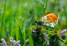 Померанцовая бабочка подсказки бабочка на солнечном луге Бабочки весны яркие прозрачные крыла Скопируйте космосы Стоковое Изображение RF