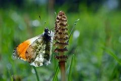 Померанцовая бабочка подсказки бабочка на солнечном луге Бабочки весны яркие прозрачные крыла Скопируйте космосы Стоковые Фото