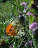 Померанцовая бабочка подсказки бабочка на солнечном луге Бабочки весны яркие прозрачные крыла Стоковое Изображение