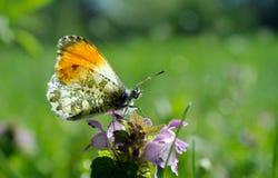 Померанцовая бабочка подсказки бабочка на солнечном луге Бабочки весны яркие прозрачные крыла Стоковые Фотографии RF