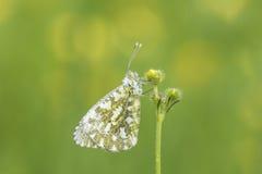 Померанцовая бабочка подсказки Стоковые Изображения