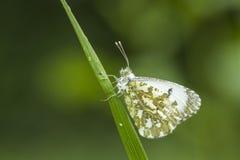 Померанцовая бабочка подсказки Стоковые Изображения RF