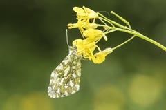 Померанцовая бабочка подсказки Стоковая Фотография RF