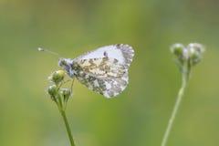 Померанцовая бабочка подсказки Стоковое Фото