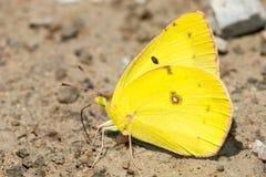 Померанцовая бабочка серы Стоковые Изображения