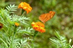 Померанцовая бабочка стоковое изображение