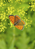 Померанцовая бабочка стоковые изображения rf