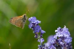 Померанцовая бабочка Стоковые Изображения