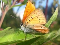 Померанцовая бабочка Стоковая Фотография RF