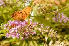 Померанцовая бабочка Стоковое фото RF