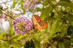 Померанцовая бабочка Стоковое Изображение RF