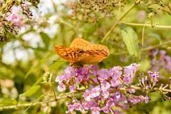 Померанцовая бабочка Стоковые Фото