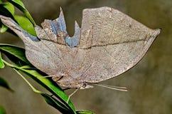 Померанцовая бабочка oakleaf Стоковые Изображения