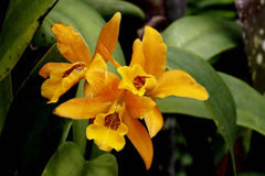 Померанцовая запятнанная орхидея губы Стоковая Фотография