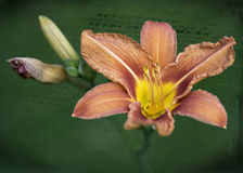 Померанцовая лилия стоковые фото