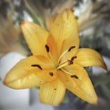 Померанцовая лилия Стоковая Фотография RF