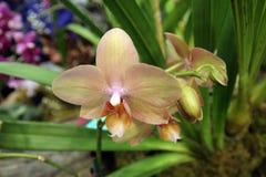 померанцовая орхидея Стоковое Изображение