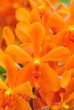 померанцовая орхидея Стоковое Изображение RF