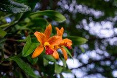 померанцовая орхидея Стоковые Изображения