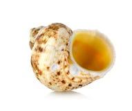 померанцовая раковина моря Стоковые Фото