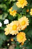 Померанцовая хризантема Стоковая Фотография RF