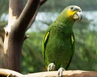 Померанцовое крыло Амазонка Стоковые Изображения RF