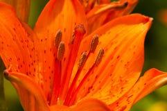 Померанцовое цветене лилии Стоковое Изображение