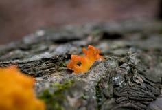 Померанцовые грибки Стоковые Изображения RF