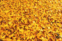Померанцовые листья осени Стоковое Фото