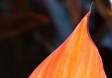 Померанцовые листья Стоковые Изображения