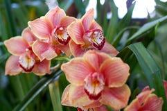 померанцовые орхидеи Стоковое Фото