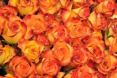померанцовые розы Стоковое Изображение