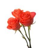 померанцовые розы Стоковые Фотографии RF
