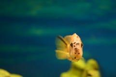 Померанцовые рыбы Стоковое Изображение