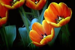 померанцовые тюльпаны стоковое изображение rf