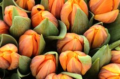померанцовые тюльпаны Стоковая Фотография