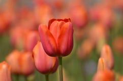 Померанцовые тюльпаны Стоковые Фотографии RF