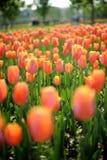 померанцовые тюльпаны Стоковые Изображения