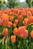 померанцовые тюльпаны Стоковая Фотография RF