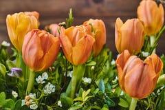 померанцовые тюльпаны Стоковые Фото