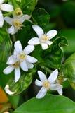 Померанцовые цветения стоковые изображения rf
