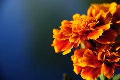 Померанцовые цветки стоковая фотография rf